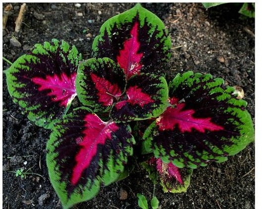 coleus flowers gallery  photos, Natural flower