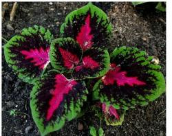 picture of unique coleus plant with beautiful color patterns.jpg