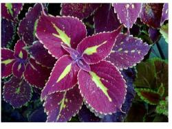 potted flowers with coleus plants in bright colors.jpg