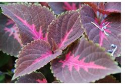 purple brown coleus flowers.jpg