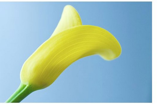light yellow cream calla lily flower photo.jpg