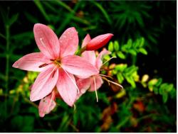 beautiful lilies in pink.jpg