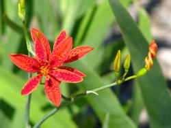 Blackberry Lily in red.jpg