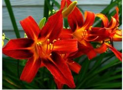 bright red lilies flowers.jpg