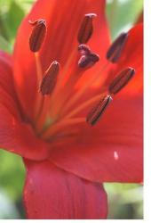 bright red lily flower.jpg