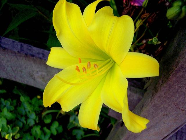 Bright yellow lily flowerg hi res 720p hd bright yellow lily flowerg mightylinksfo