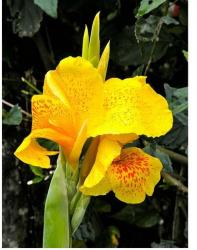 Canna lily flowers in bright yellow with orange dots.jpg
