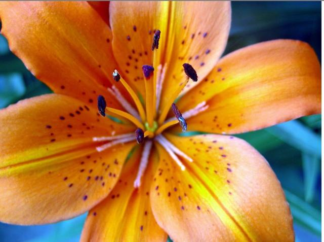 close picture of a tiger lily flower.jpg