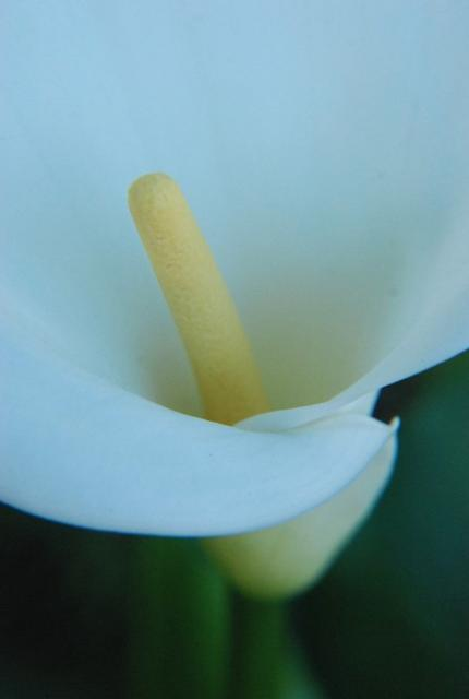 close up picture of cala lily flower center in yellow.jpg