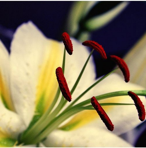 close up picture of the center of lily flowers.jpg