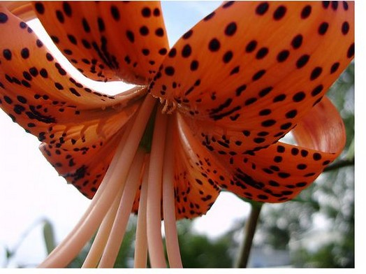 cool tiger lily flower image.jpg