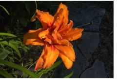 dark orange lily flower photo.jpg