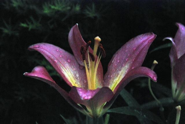 Dark Purple Lily Flowers Photo Jpg 1 Comment
