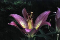 dark purple lily flowers photo.jpg
