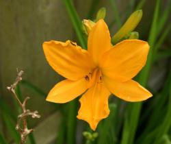 Day Lily in golden color.jpg