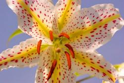 Golden-Rayed Lily pics.jpg