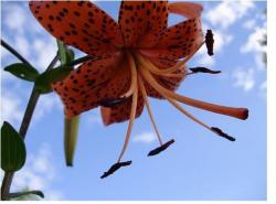 image of tiger lily flower.jpg