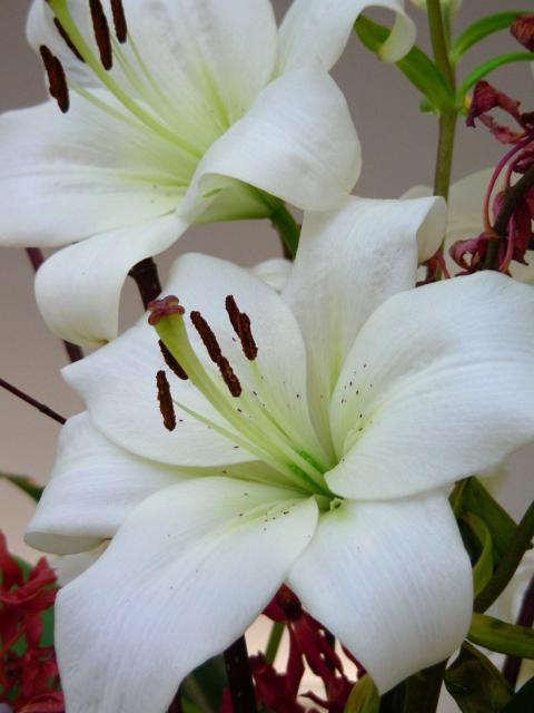image of white lily flowers hires p hd, Beautiful flower