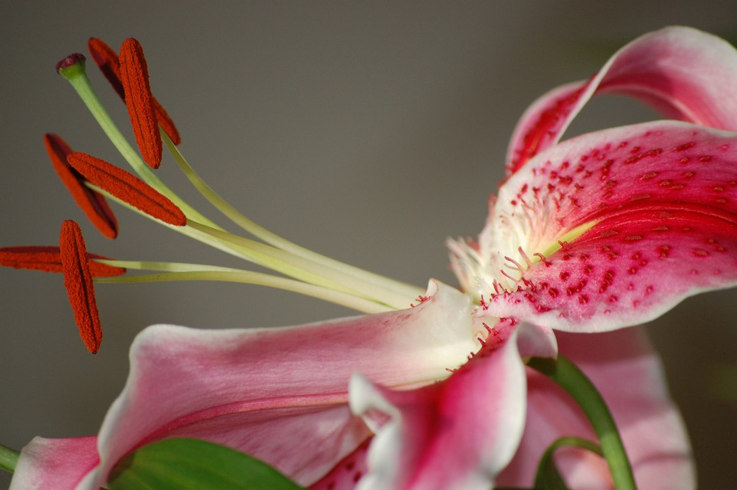 lily flower images.jpg