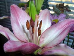 Lily Flower Picture.jpg