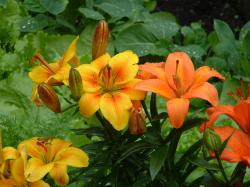 lily flowers in ornage.jpg