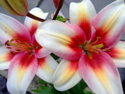 lily flowers with three colors.jpg