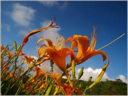 orange lilies field.jpg