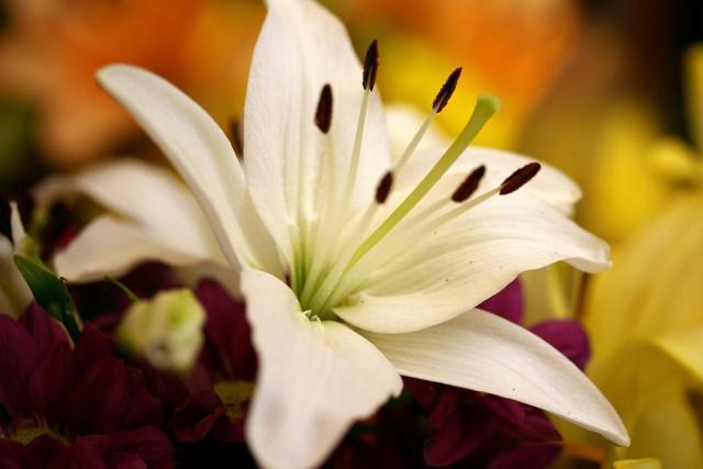 Oriental Lily Flower In White Jpg Hi Res 720p Hd