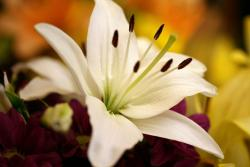 oriental lily flower in white.jpg