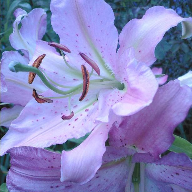 purple lily flower plant - photo #20