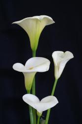 photo of calla lilies.jpg