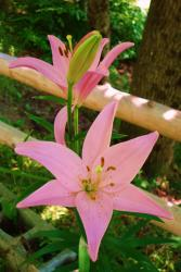 pretty lily flowers in pink.jpg