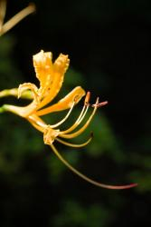 spider lily flowers in yellow.jpg