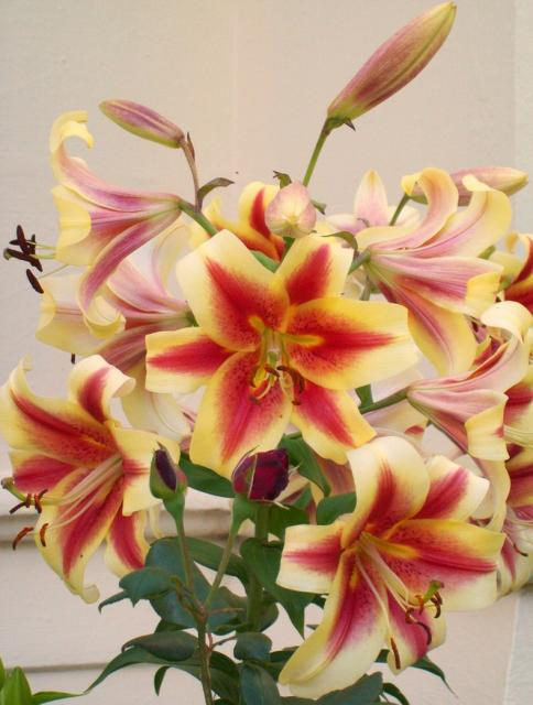 lily flowers gallery  photos, Beautiful flower