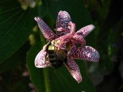 Toad Lily with a  Bee.jpg