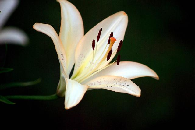 White And Peach Lily Flower Photo Jpg Hi Res 720p Hd