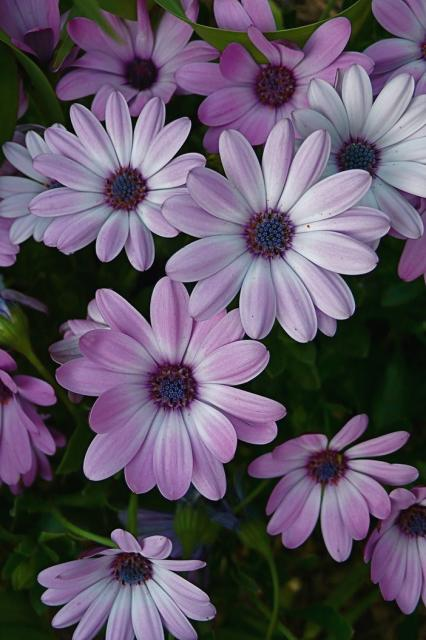 purple daisy flowers picture.jpg