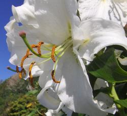 white lily flowers picture.jpg