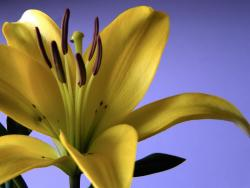 yellow lily flower photo with brown center.jpg