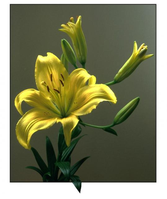 Yellow Lily image.jpg