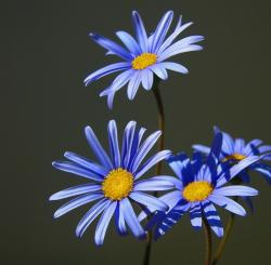 purple daisy flowers photos.jpg
