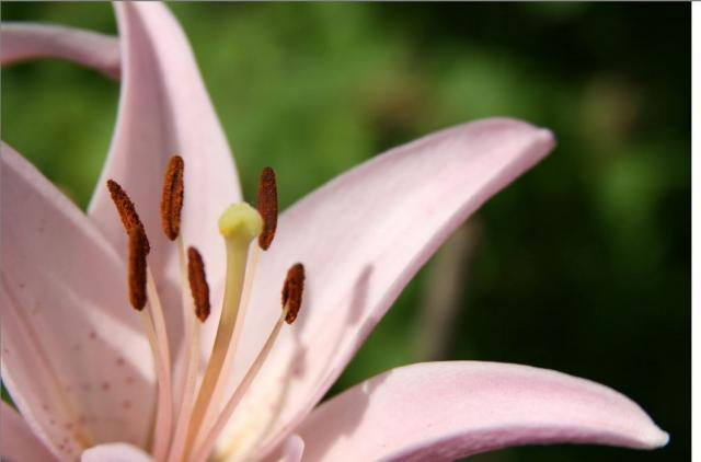 Asiatic Lily Flower In Light Pink Jpg Hi Res 720p Hd