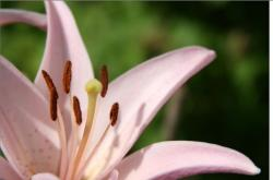 asiatic lily flower in light pink.jpg