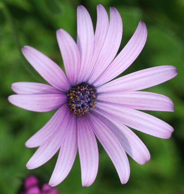Purple Daisy Flower: Purple Daisy Flower With Purple Center.jpg Hi-Res 1080p HD