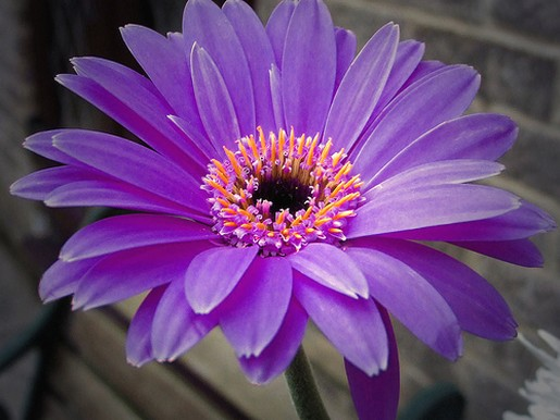 purple daisy flower with orange photo  comment, Natural flower