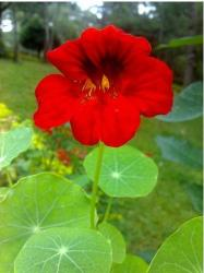 Bright red annual flower, Indian Cress.jpg