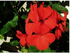 bright red annual flowers image.jpg