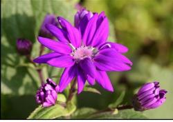 Cineraria violet flowers picture.jpg