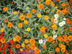 cute and small annual flowers in orange, red and white.jpg