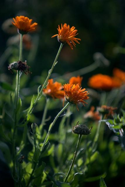 dark orange annual flowers image hires p hd, Beautiful flower